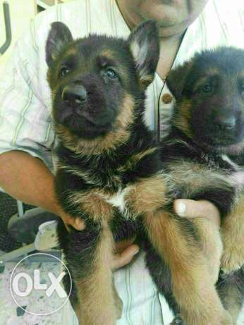 german sheperd 7000 for each one كل كلب ٧٠٠٠