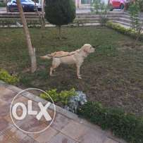 Labrador, make, 8 months, Pure، very smart, vaccinated