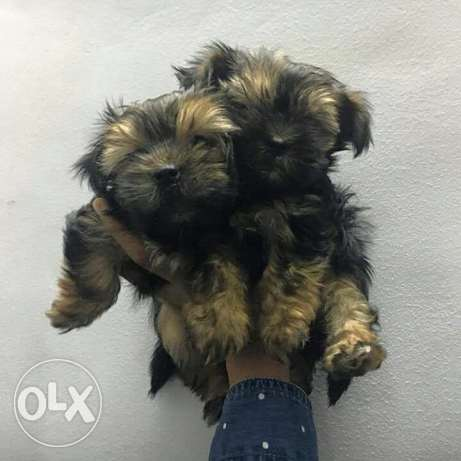 pure Yorkshire terrier black male مصر الجديدة -  6
