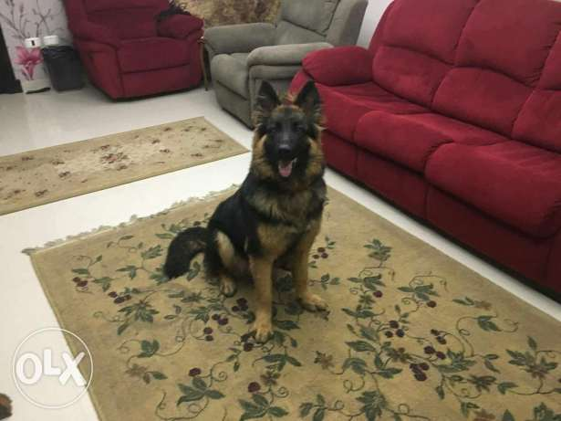 German shepherd male 9 months