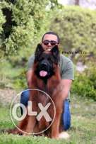 Supper imported males . GSD . Imported . For matting For more informat
