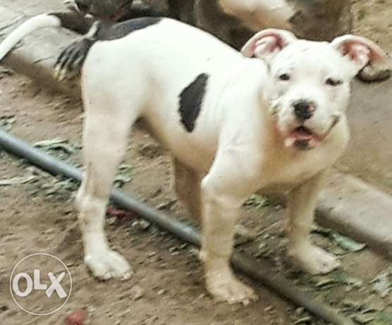 Female American bully five month مدينة نصر -  2