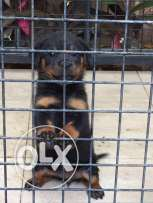rott . for sale