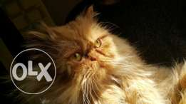 Persian picky pure breed قط شرازي