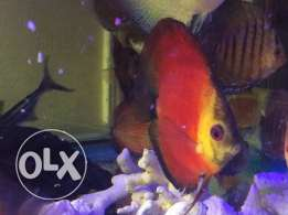 Red Melon Discus high quality