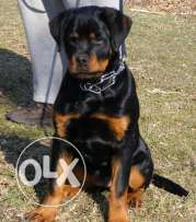 (German Rottweiler For Sale or Exchange with (Golden Retriever