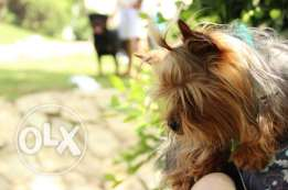 Yorkshire terrier male for sale (with pedigree)