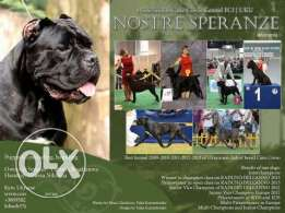 cane corso puppy imported from ukraine for reservation
