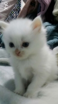 Persian kittens 60 days old