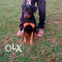 Female Rottweiler puppy 5 months with pedigree daughter of euro ch
