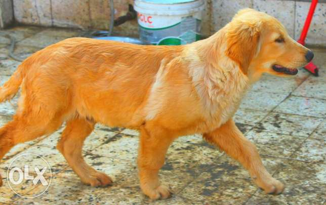 puppy Male For sale only 4.5 months