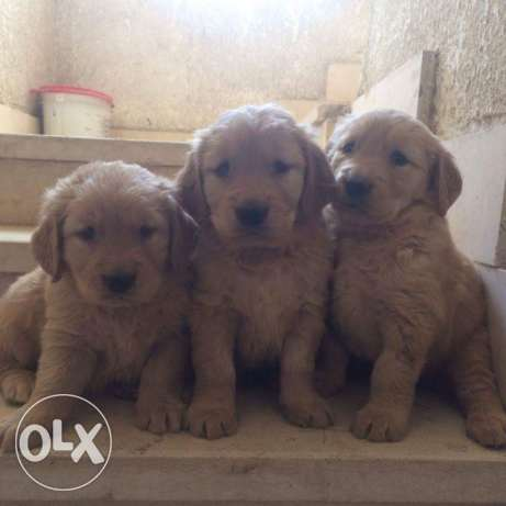 For sale puppies golden