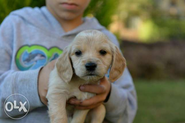 Cocker Spaniel puppies Ready for new homes مدينتي -  7