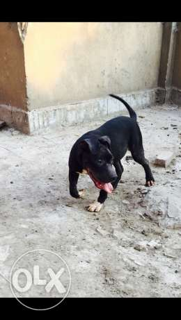 pitbull xL for sale القاهرة -  2