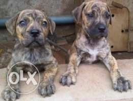 Brindle Boerboel mastiff imported from South Africa