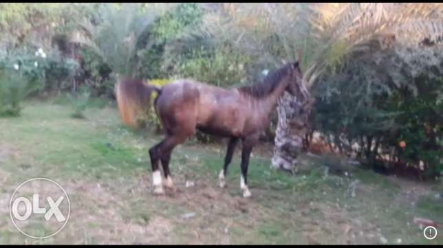 female horse 3 years old