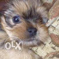 Yorkshire terrier female golden puppy for sale with a perfect price