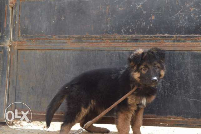 puppy female german shepard for sale