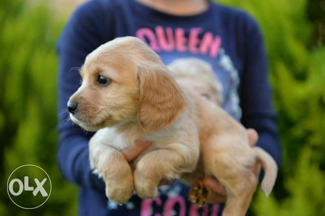 Cocker Spaniel puppies Ready for new homes مدينتي -  8