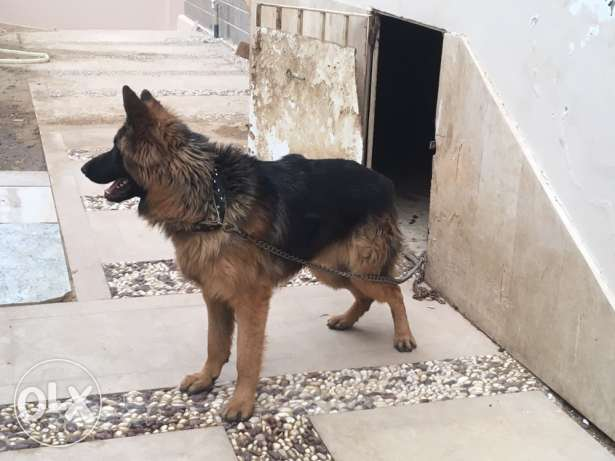 german shepherd (جيرمن)
