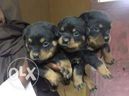 Rottweilier puppies