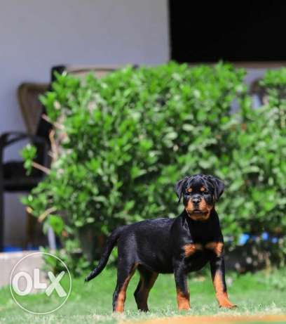 Females Rottweiller Puppies
