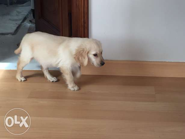 golden retriever pure 60 days vaccinated and dewormed