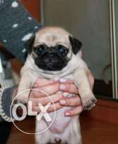 pug imported from ukraine for reservation age 2months