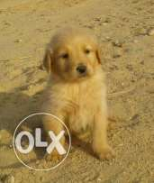 the Cutest golden retriever puppies female for SALE