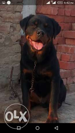 Male Rott Willer For sales 6 Months