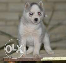 Blue eyes husky female