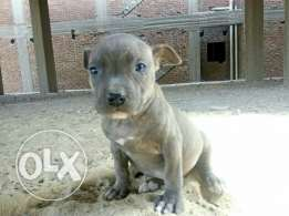 Blue pitbull puppy