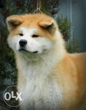 Akita Inu Male For Mating / للزواج