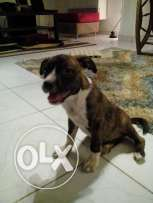 for sale femal pitbull vaccinated