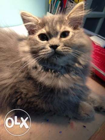 Male Maine coon kitten قط صغير