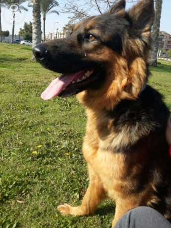 Female German Shepherd for mating