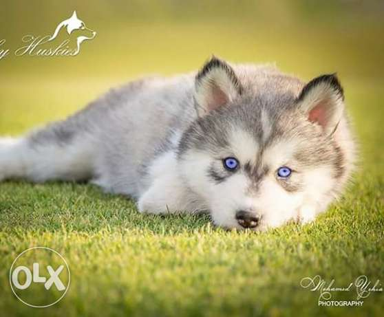 Husky puppies for sale pure breed مصر الجديدة -  3