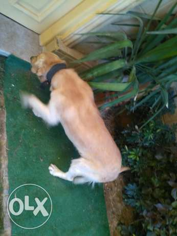 Golden Retriever Male 12 months old القاهرة الجديدة -  1
