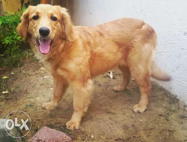 Golden retriever (Female)