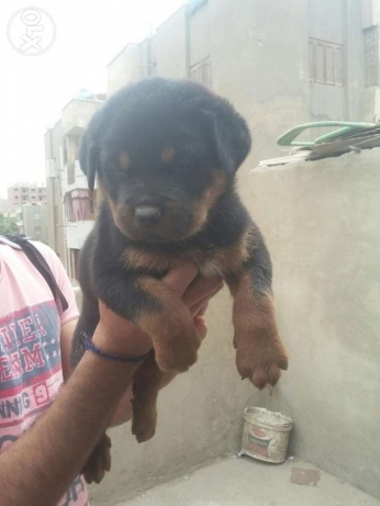 Puppies rottweiler for sale