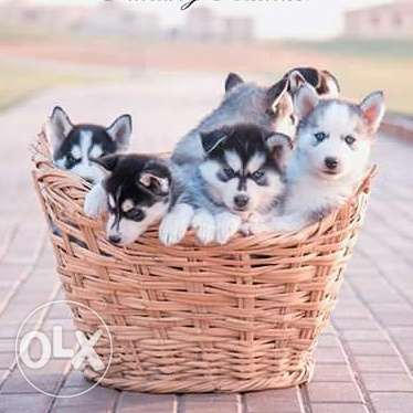 Husky puppies for sale pure breed مصر الجديدة -  6