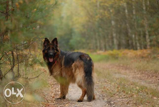 Female GERMAN SHEPHERD from Europe القاهرة الجديدة -  3