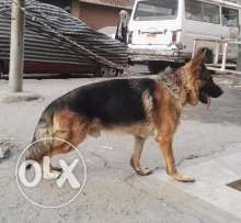 For sale male German shepherd