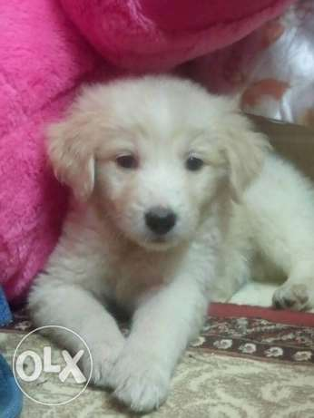 Golden retriever pure 60 days