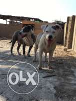 Male pitbull 11month for sale