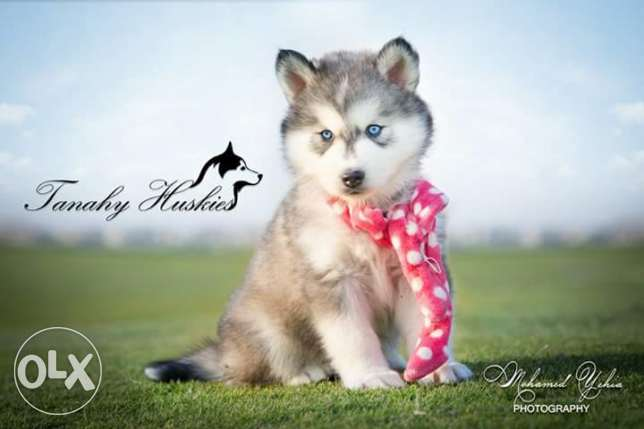 Husky puppies for sale pure breed مصر الجديدة -  1