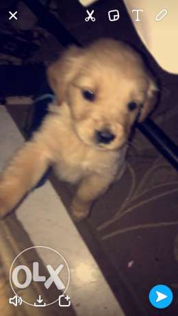 golden retrievers puppies for sale الإسكندرية -  5