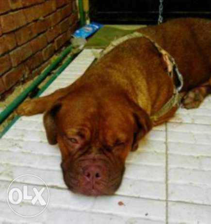 female french mastiff for sale طنطا -  2