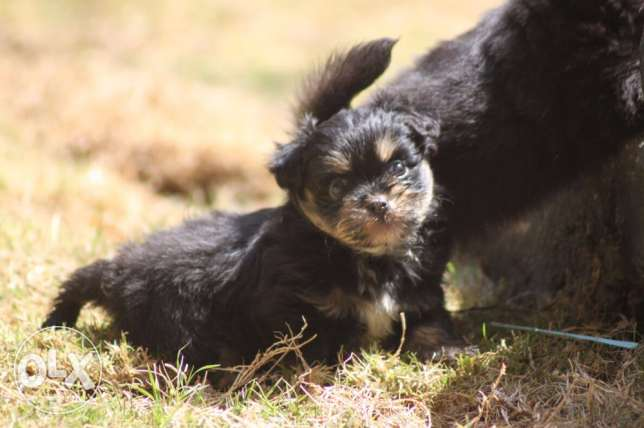for sale puppies Griffin mini