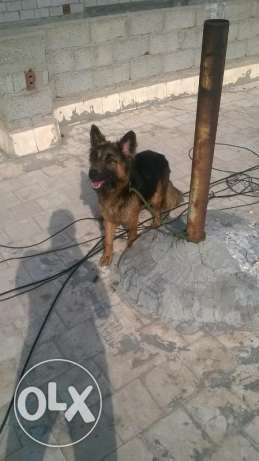 نتايه جيرمن female german shepherd